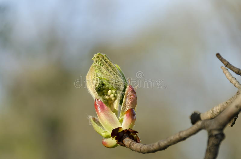 Horsechestnut tree bud in spring royalty free stock photos