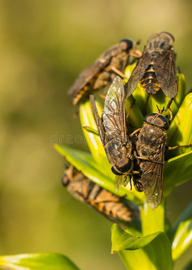 Horseflies stock photos