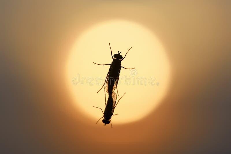 Horseflies reprodukują na nadokiennym szkle na lato wieczór obrazy royalty free