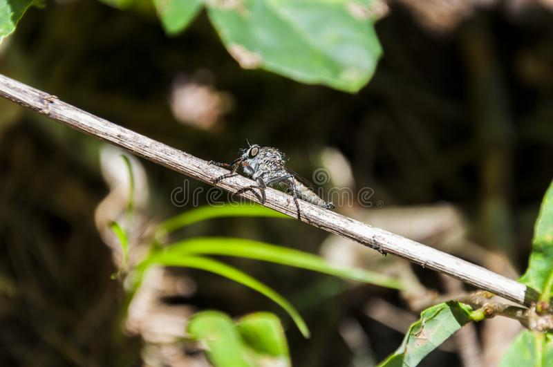 Horsefly insect on plant twig stock photos