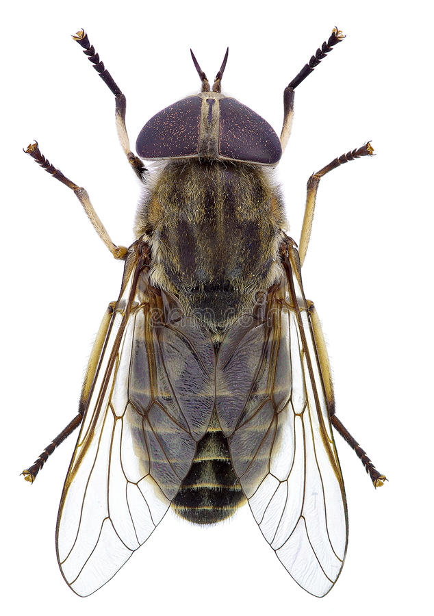Horsefly royalty free stock images