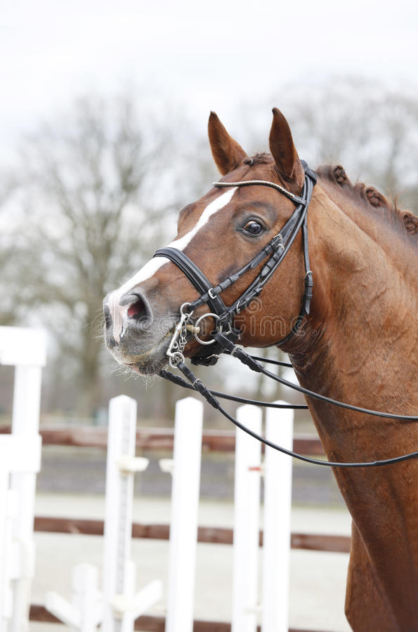 Horsehead with curb bit. A brown horse head with a Double Bridle and reins stock photos