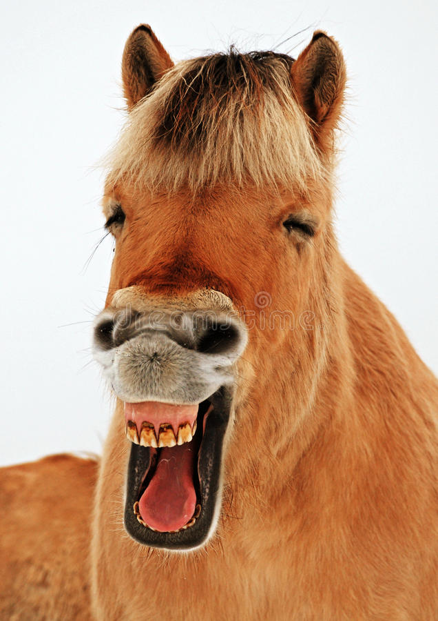 Horselaugh stock photography