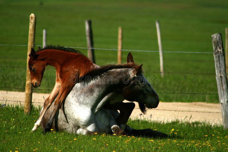 Horseplay royalty free stock photography