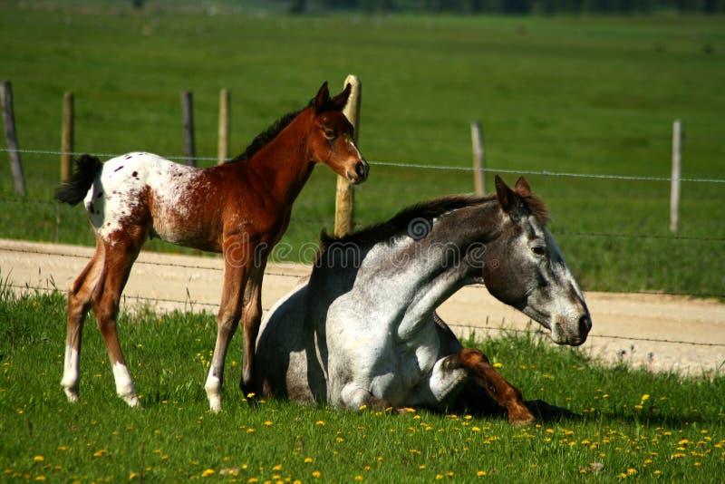 Horseplay royalty free stock image