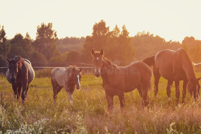 Horsepower. Newborn baby horses with moms in sunset royalty free stock photos