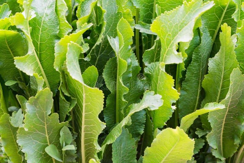 Horseradish lub Armoracia rusticana liście zamknięci w lecie uprawiają ogródek fotografia stock