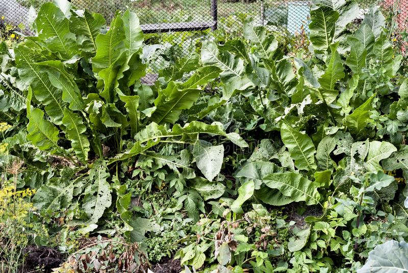 Horseradish r w ogródzie obraz stock