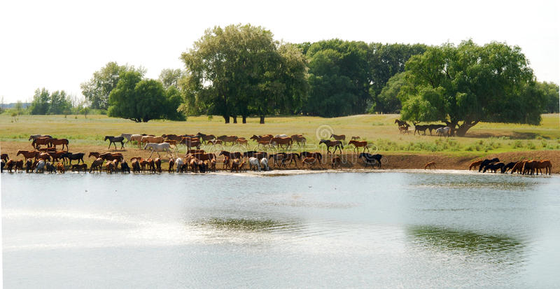 Download Horses stock image. Image of herd, pond, family, animal - 10078167