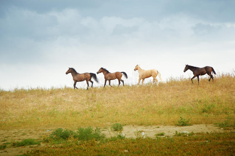 Horses. Four running horses in the wild steppe. Middle Asia. Natural colors and light royalty free stock photos