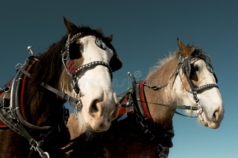 Download Horses stock image. Image of pulling, working, harnessed - 2015265