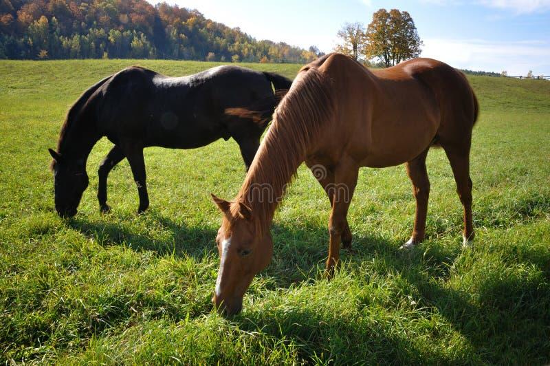 Download Horses stock image. Image of graze, animal, farm, eating - 21630917