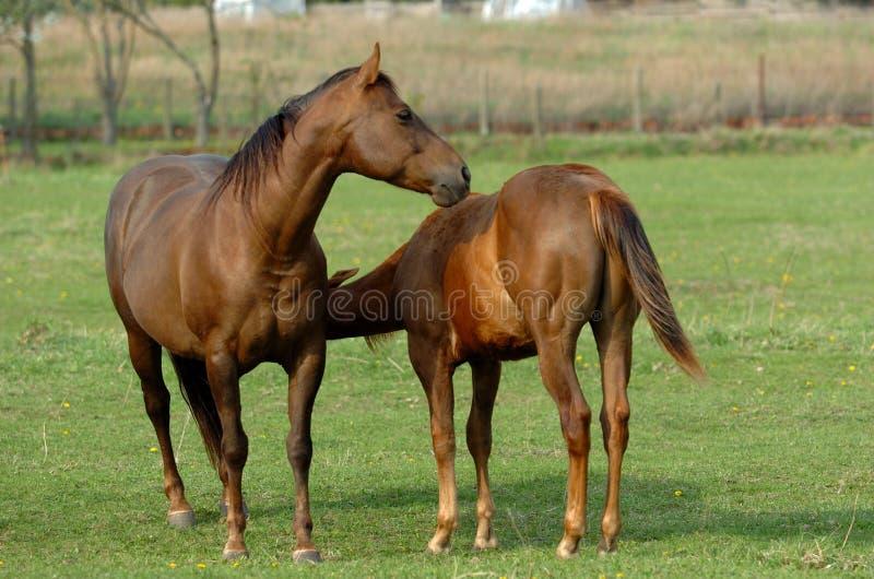 Download Horses stock photo. Image of horses, mammal, freedom, enjoy - 2306042
