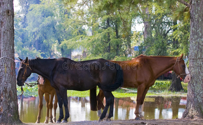 Download Horses stock photo. Image of animal, america, agriculture - 24847198