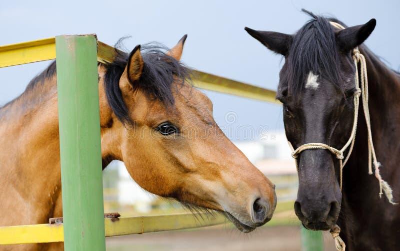 Download Horses stock photo. Image of black, gelding, card, portrait - 25455502