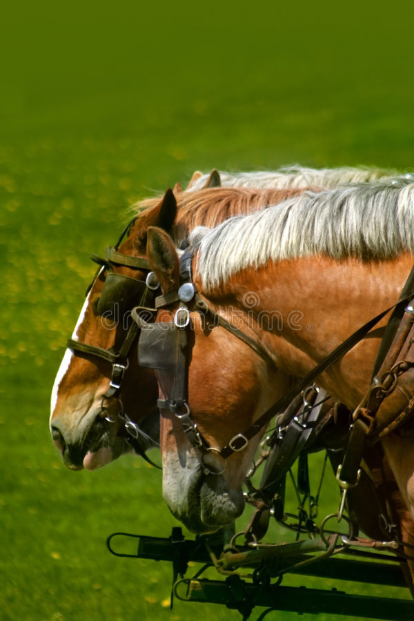 Horses. Brown and white colored horses of a carriage stock photos