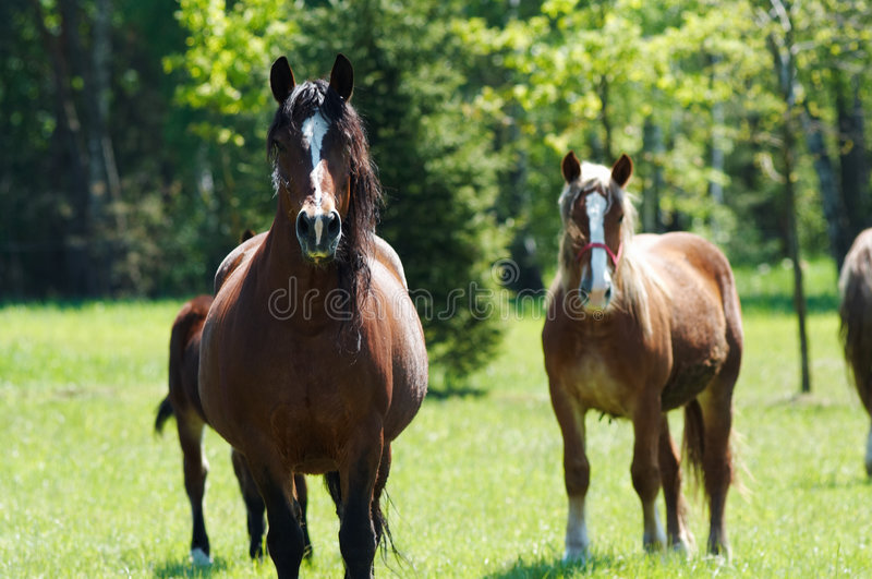 Horses. Brown horse with black mane on foreground and two horses behind royalty free stock photo