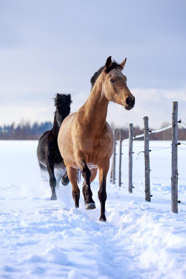 Download Horses stock image. Image of friesian, animal, mare, trakehner - 29379841