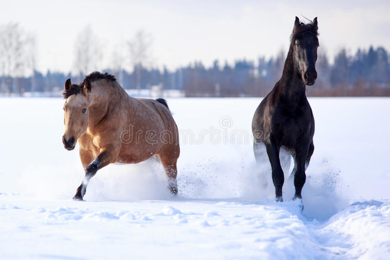 Download Horses stock image. Image of animal, bay, field, friesian - 29379859