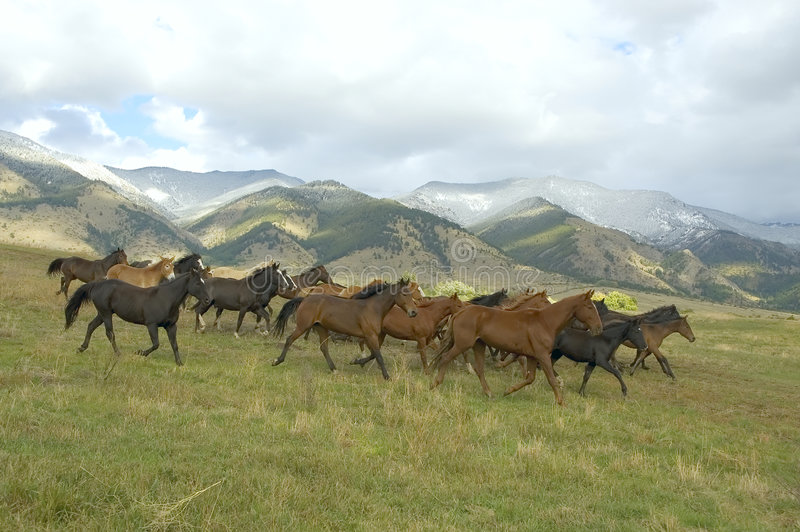 Horse Stampede On Montana Horse Ranch Stock Image Image