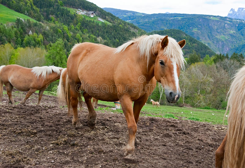 Download Horses in Alps stock image. Image of mane, animal, nature - 18147915