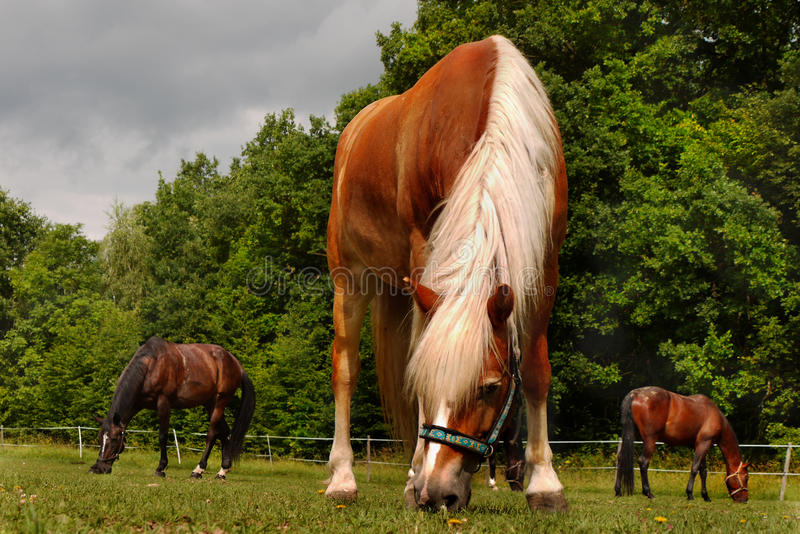 Grazing Horses Meadow royalty free stock photography