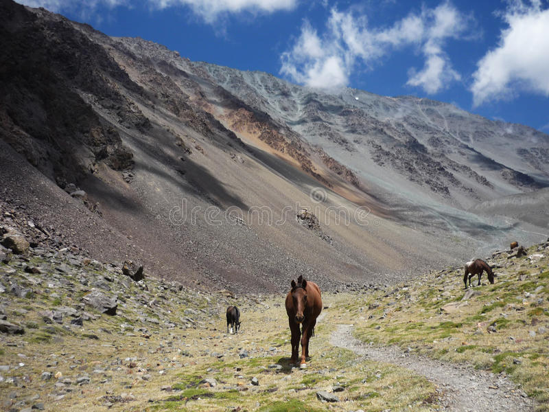Horses in Argentinian Andes. Near Mendoza stock images