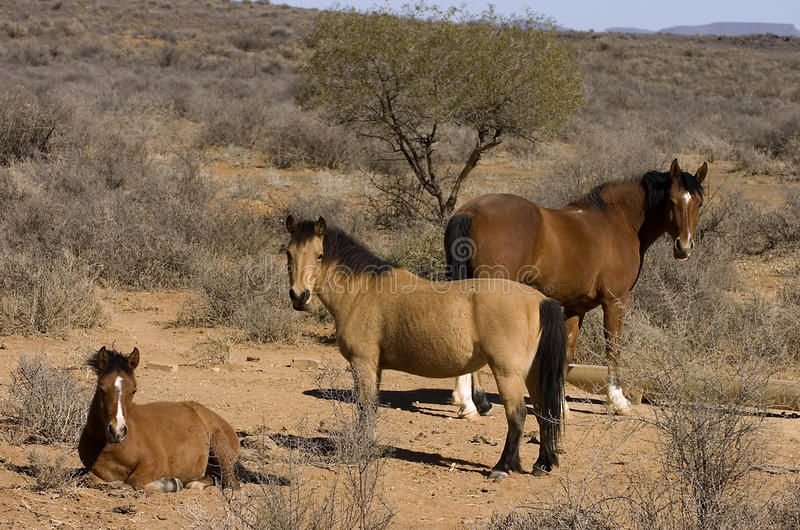 Horses In Arid Landscape Stock Photography