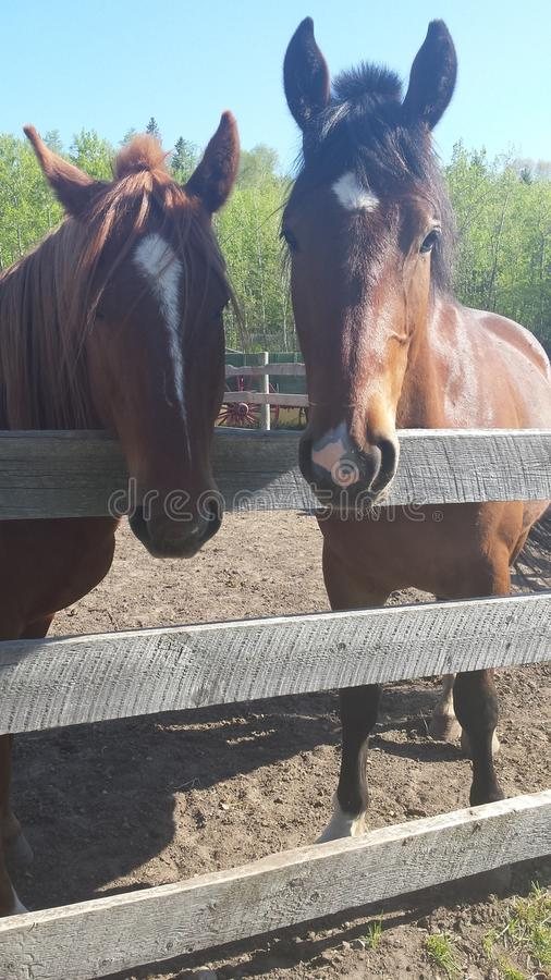 Horses. These beautiful are apart of edmontons history stock images