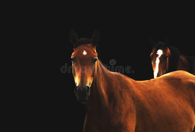 Horses on black stock photo