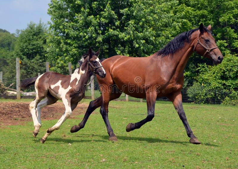 Horses 302. Black and white 6 week old German Oldenburg warmblood colt running in pasture with his mother stock photos