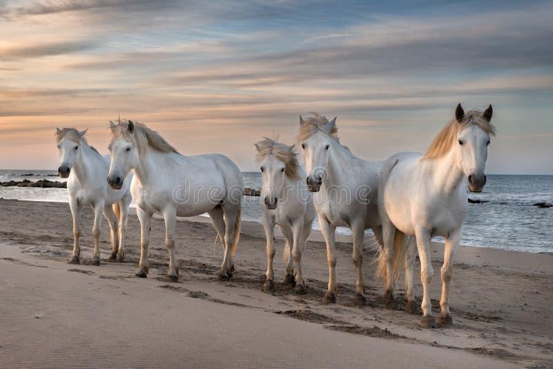 Horses in Camargue stock photos