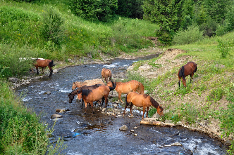 Horses came to the river royalty free stock images