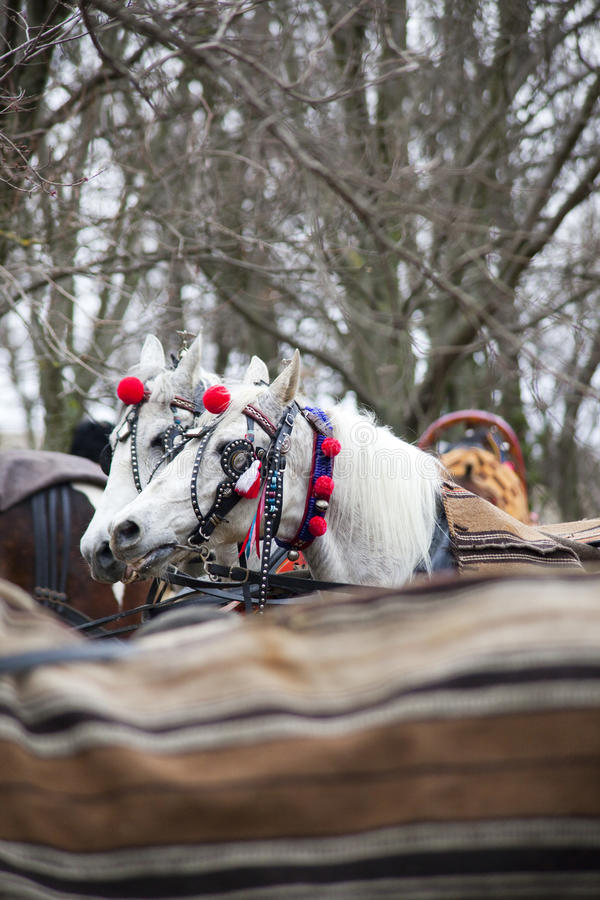 Horses in carriage. Beauty horses waits for race during Todorovday in Bulgaria royalty free stock photos
