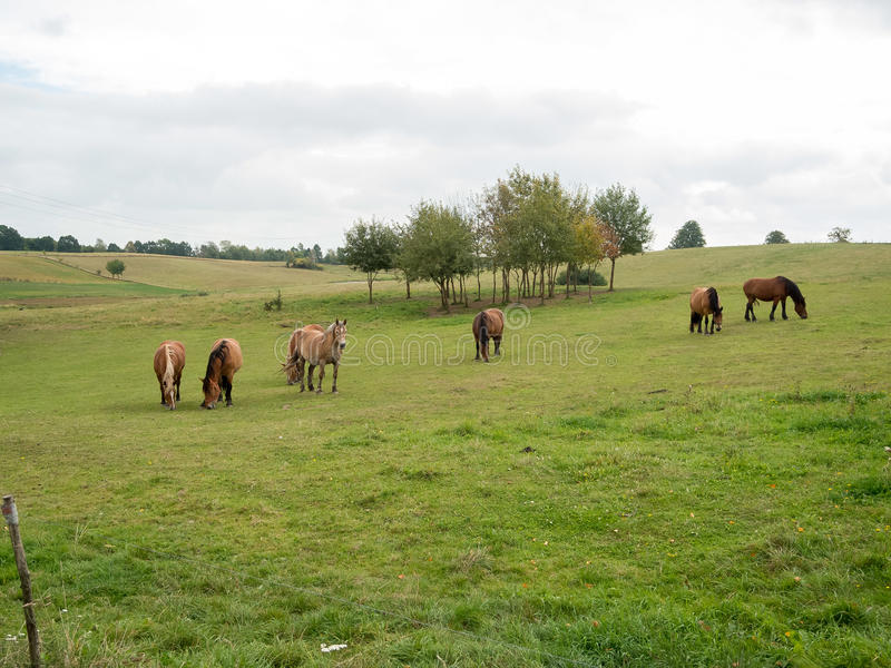 Horses in the clearing stock image