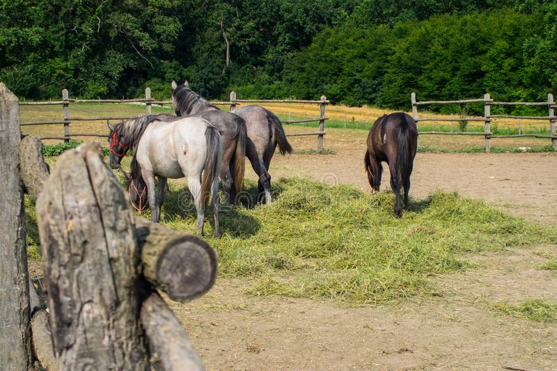 Horses in a coral grazing eating grass feeding 03 stock photography