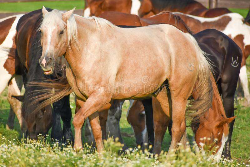 Horses at Dan Patch Stables royalty free stock photography