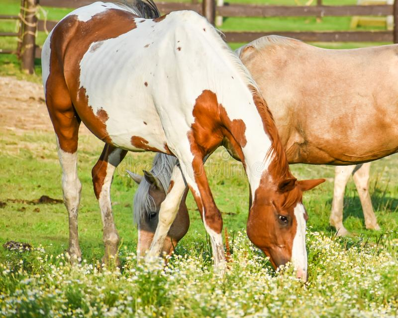 Horses at Dan Patch Stables royalty free stock image