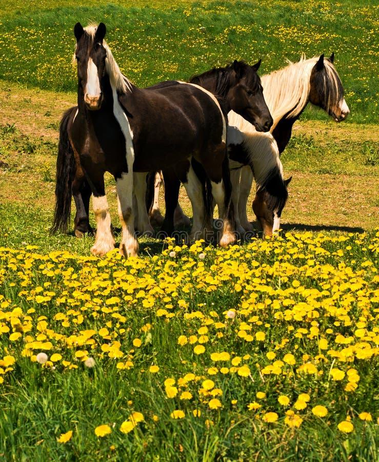 Horses on dandelion field stock photos