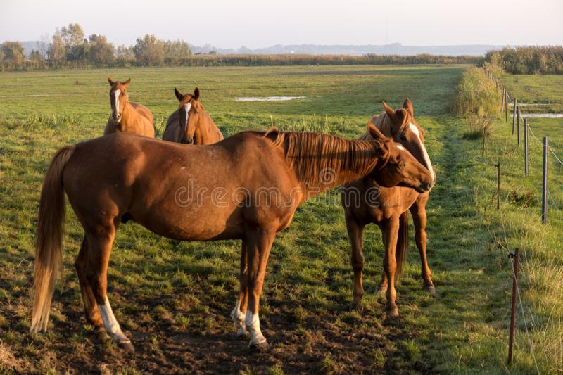 Horses at dawn on Fischland stock photos