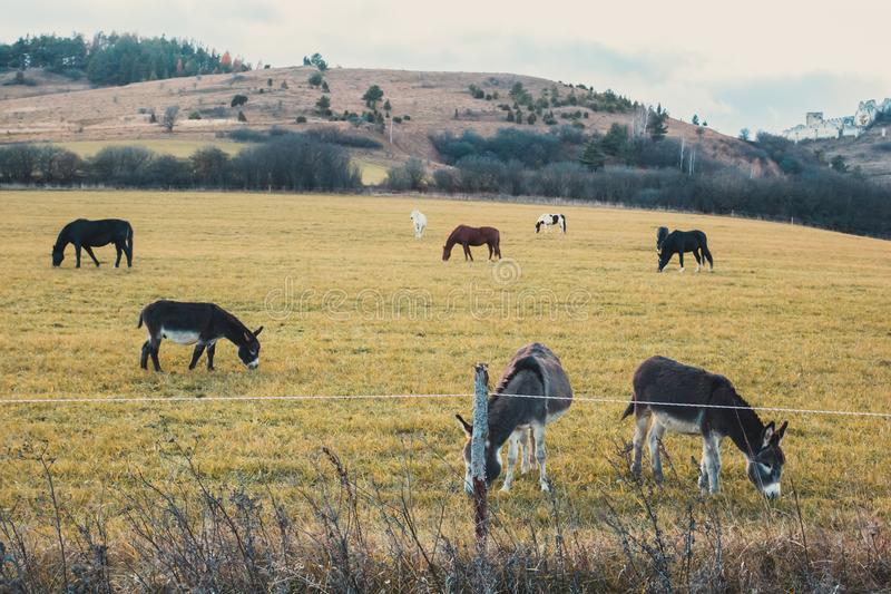 Horses and donkeys graze on the field. Hills in the background royalty free stock photo