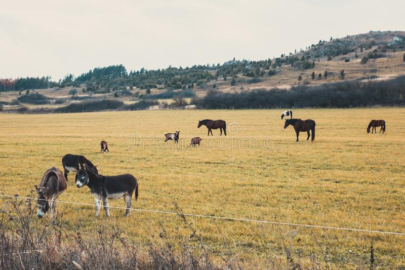 Horses and donkeys graze on the meadow. Hills in the background royalty free stock image
