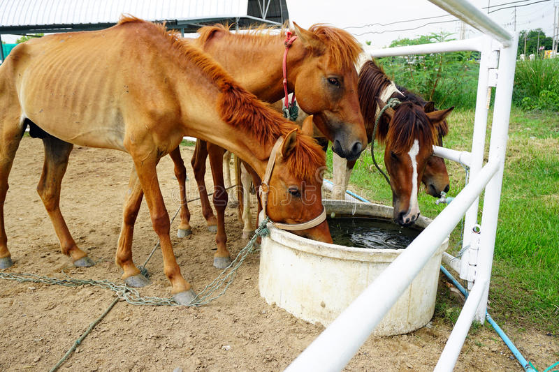 Horses drinking water royalty free stock images