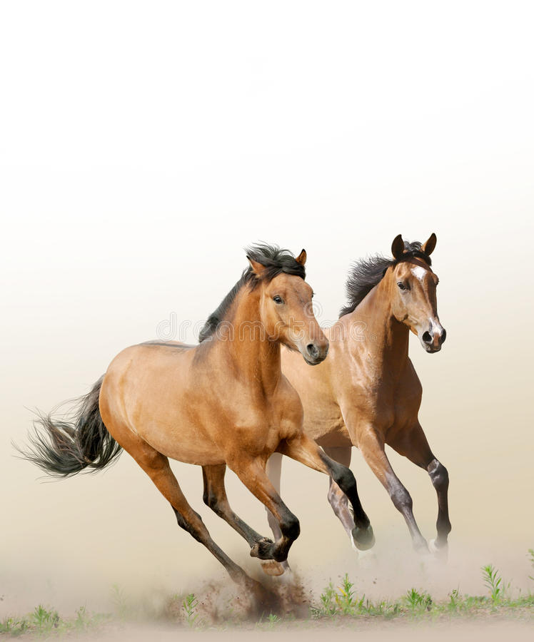 Horses in dust royalty free stock image