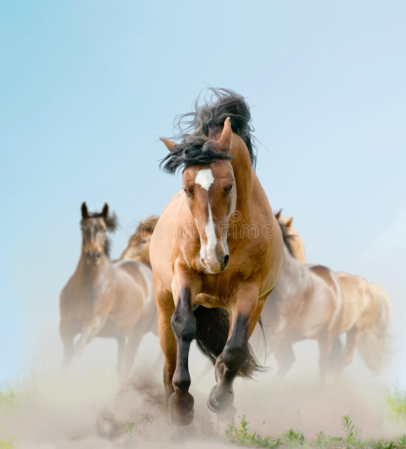 Horses in dust. Horses in a dust running wild