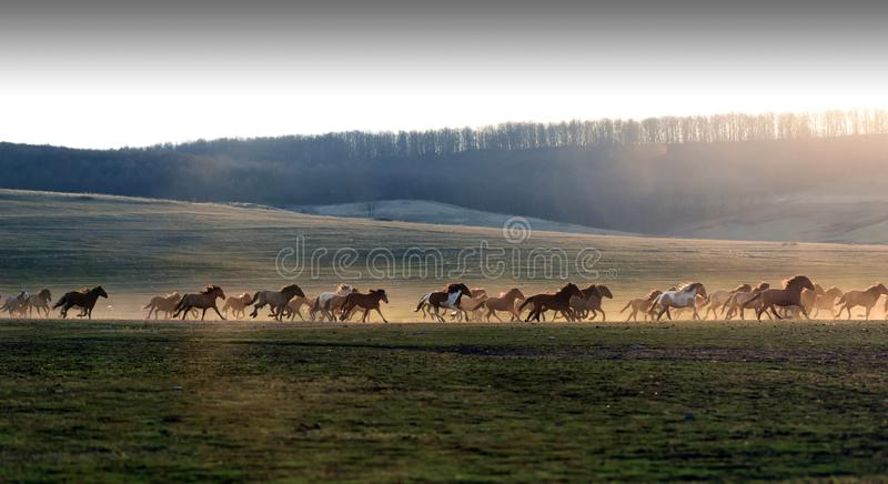 Horses in Dust and Sunset Silhouette royalty free stock photos
