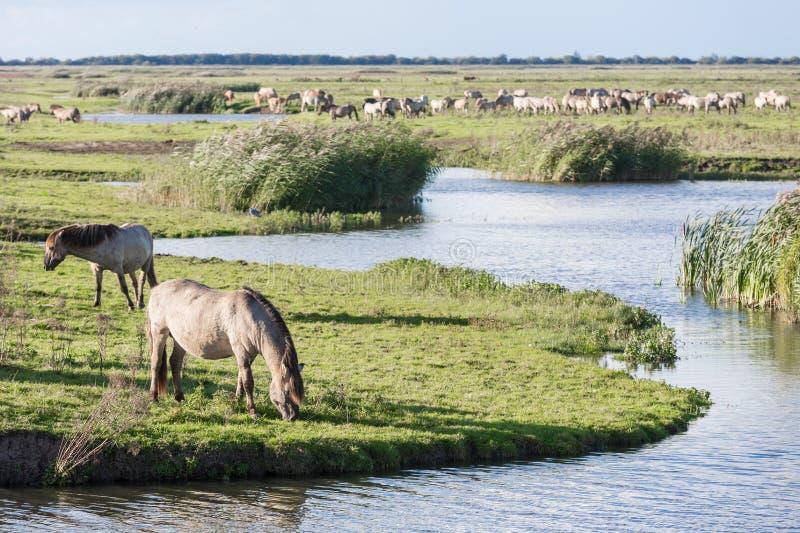 Horses in Dutch national park Oostvaardersplassen royalty free stock photos