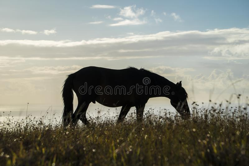 Horses in Easter Island. Walking free and eating stock images