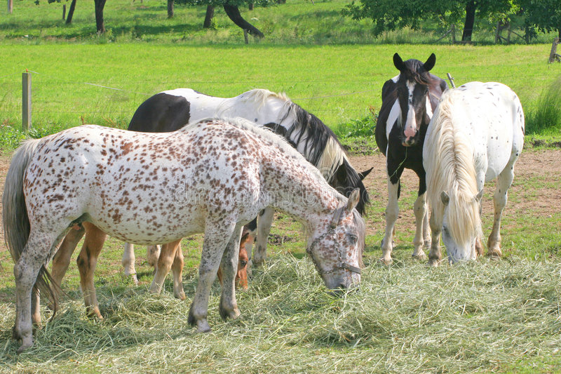 Download Horses eat hay stock photo. Image of breed, horse, wilde - 5600786