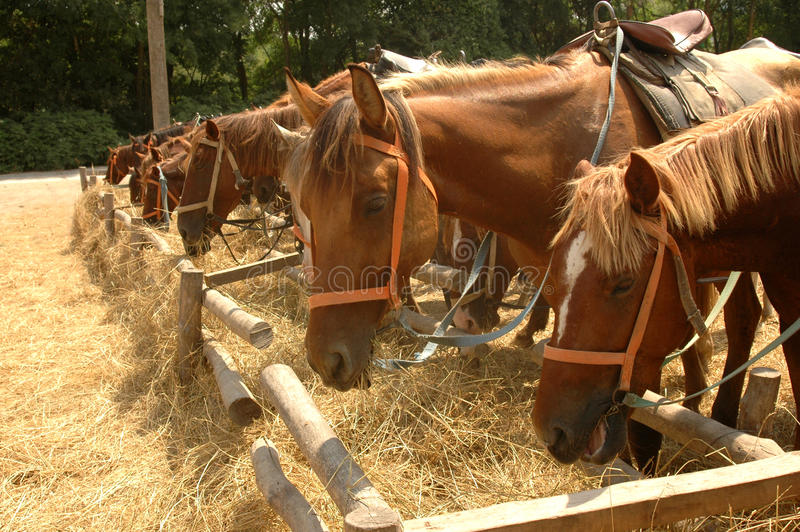 Horses eat hay on the yard royalty free stock image